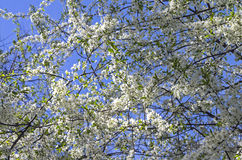 Flowering cherry. Stock Images