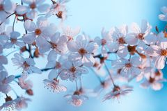 Flowering cherry branches against the blue sky background. Vintage blossoming orchard. Branches with cherry flowers against blue sky Stock Image