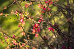 Flowering cherry branches, in early spring. Deep blurred background stock photography