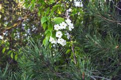 Flowering cherry among coniferous trees royalty free stock image