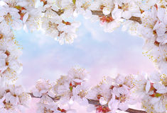 Flowering cherry frame royalty free stock photography