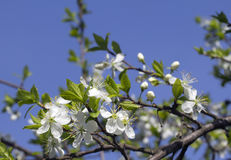 Flowering cherry. Royalty Free Stock Image