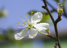 Flowering cherry. Royalty Free Stock Photos