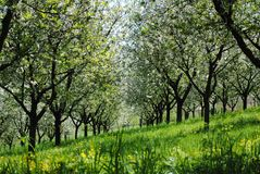 Flowering cherry orchard Stock Photo