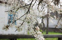 Flowering cherry-plum Στοκ Φωτογραφίες