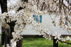 Flowering cherry-plum Royalty Free Stock Images