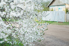 Flowering cherry plum tree in spring garden covering with snowy white flowers at old wood farm log house background Royalty Free Stock Photography