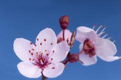 Flowering cherry (Prunus sp) in spring. Stock Image