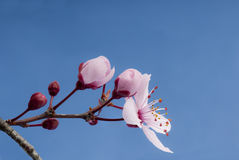 Flowering cherry (Prunus sp) in spring. Pink flowering cherry (Prunus sp) flowers and buds at the start of spring against a blue sky Stock Images