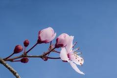 Flowering cherry (Prunus sp) in spring. Stock Images