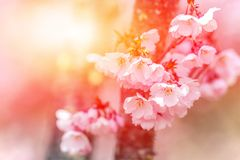 . Flowering cherry with rays of the setting sun. Stock Photo