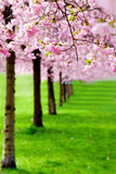 Flowering cherry, sakura trees Royalty Free Stock Photography