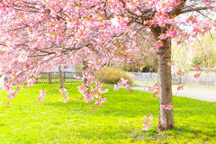 Flowering cherry, sakura trees Stock Photo