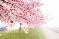 Flowering cherry, sakura trees Stock Images