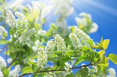Flowering cherry Royalty Free Stock Photos