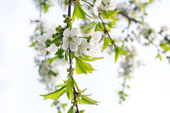 Flowering cherry tree Royalty Free Stock Photography