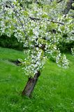 Flowering cherry tree Stock Photo