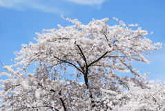 Flowering Cherry Tree Stock Images