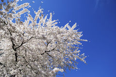 Flowering Cherry Tree Royalty Free Stock Image