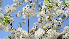 Flowering cherry tree against blue sky, Beautiful white flowers on the tree in spring garden. Flowering cherry tree against blue sky, Beautiful white flowers on stock footage