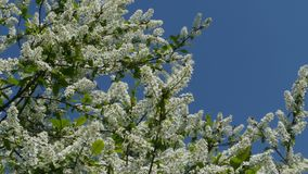 Flowering cherry tree against the blue sky. Camera in motion stock video