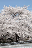 Flowering cherry tree Stock Photos