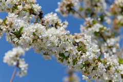 Flowering cherry tree Stock Photography