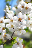 Flowering cherry tree branch Royalty Free Stock Photos