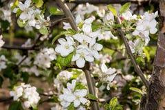 Flowering cherry tree Stock Photos