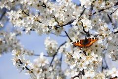 Flowering cherry tree Stock Photo