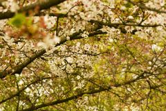 Flowering cherry tree Royalty Free Stock Photo