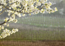 Flowering cherry tree with collio vineyards background Stock Photography