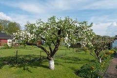 Flowering cherry tree Stock Photography