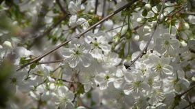 Flowering cherry tree. Illuminated by the sun stock video