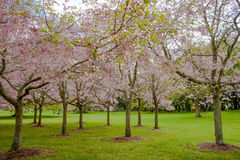 Flowering cherry tree grove in Auckland's Cornwall Park. New Zealand stock image