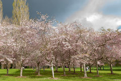Flowering cherry tree grove in Auckland's Cornwall Park Stock Images
