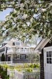 Flowering cherry tree in MA. Flowering cherry tree in Edgartown Massachusetts in Martha's Vineyard Stock Images