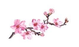 Flowering cherry tree. Pink apple flowers, sakura, almond flowers on blooming branch. Water color. Flowering cherry tree. Pink apple flowers, sakura, almond stock illustration