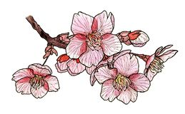 Flowering cherry tree sakura Stock Photos