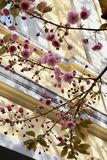 Flowering cherry tree. stock images