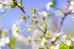 Flowering cherry tree in the spring on the background the sky-blue Royalty Free Stock Image