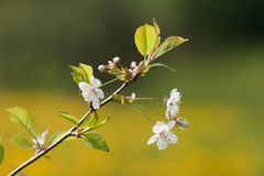 Flowering cherry tree twig Royalty Free Stock Image