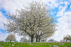 Flowering Cherry Trees. On Green Meadow In Spring Stock Photo