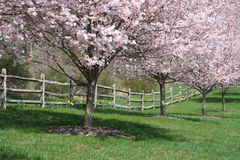 Flowering Cherry Trees. A row of flowering cherry trees and a split rail fence Stock Images