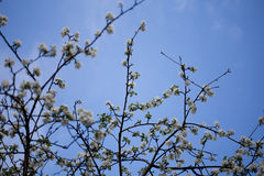 Flowering cherry trees Royalty Free Stock Image