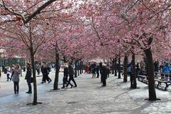 Flowering cherry trees Stock Photos