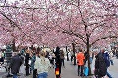 Flowering cherry trees Royalty Free Stock Photo