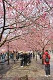 Flowering cherry trees Royalty Free Stock Photos