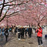 Flowering cherry trees Stock Images