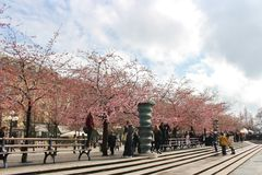 Flowering cherry trees Royalty Free Stock Photography